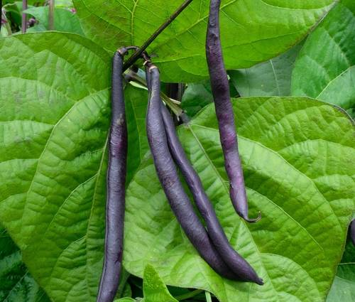 Produktbild Saatgut: Buschbohne 'Purple Teepee'