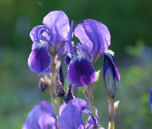 Produktbild Iris pallida ssp. illyrica