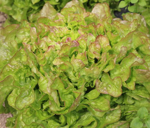 Produktbild Saatgut: Eichblattsalat 'Bijella'