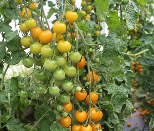 Produktbild Saatgut: Tomate 'Goldkrone'