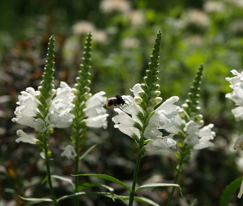 Produktbild Physostegia virginiana 'Summer Snow'