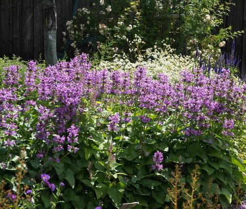 Produktbild Stachys grandiflora 'Superba'