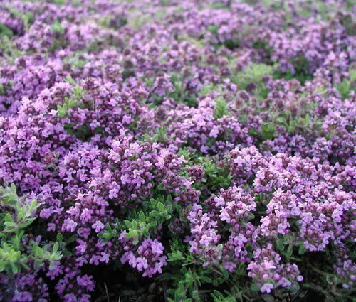 Produktbild Thymus doerfleri 'Bressingham Seedling'
