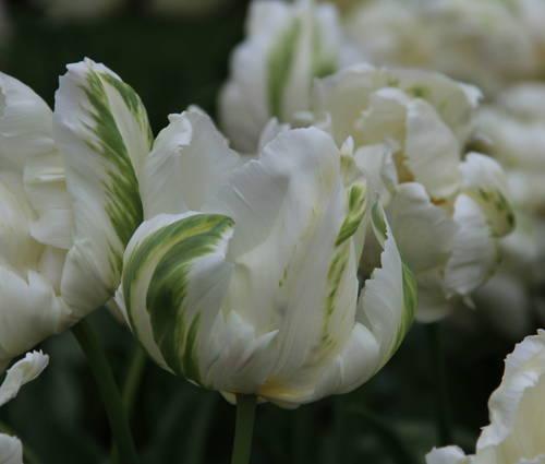 Produktbild Tulipa 'Madonna'