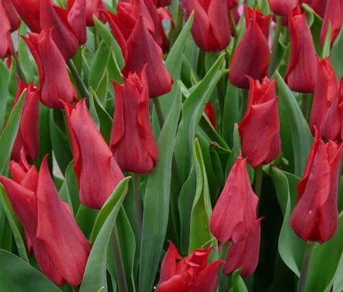 Produktbild Tulipa 'Pieter de Leur'