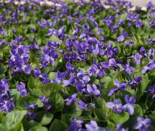 Produktbild Viola odorata 'Königin Charlotte'