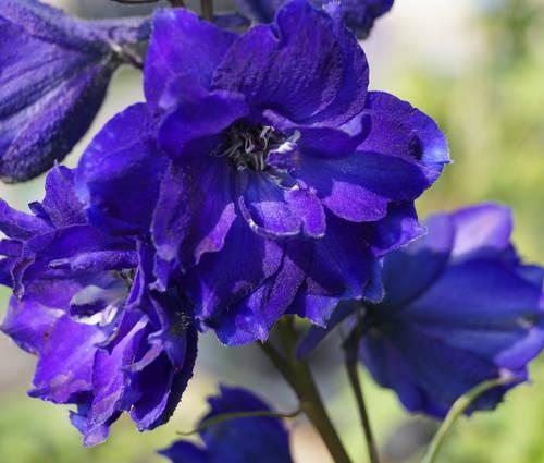 Produktbild Delphinium Elatum-F1-Hybride 'Pagan Purples'