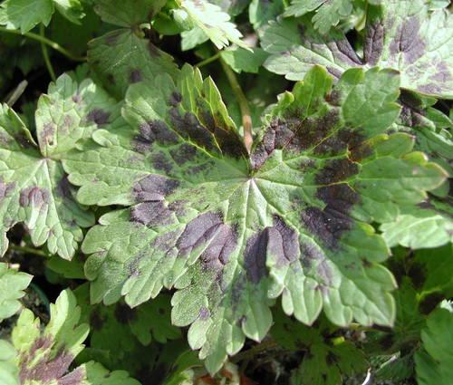 Produktbild Geranium phaeum 'Samobor'
