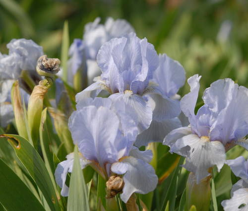 Produktbild Iris barbata-nana 'Blue Denim'