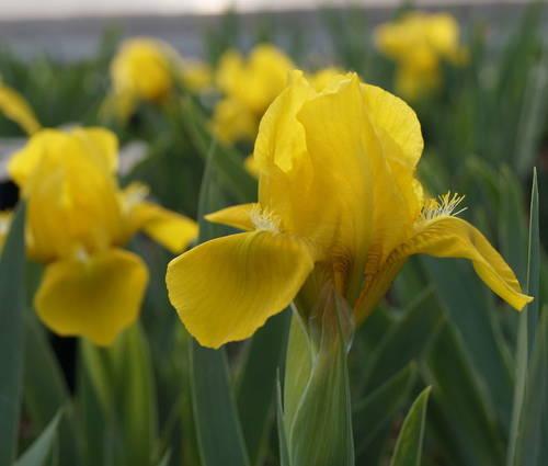 Produktbild Iris barbata-nana 'Brassie'