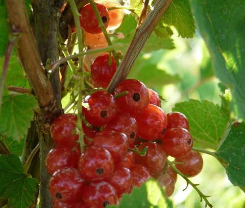 Produktbild Ribes rubrum 'Stanza'