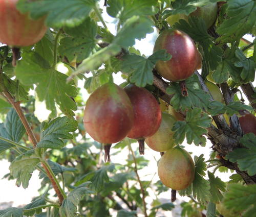 Produktbild Ribes uva crispa 'Captivator'