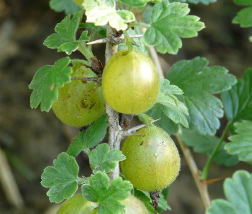 Produktbild Ribes uva crispa 'Hinnonmäki gelb'
