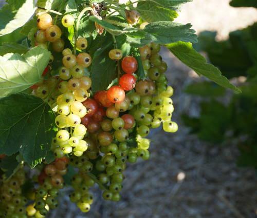 Produktbild Ribes rubrum 'Rovada'