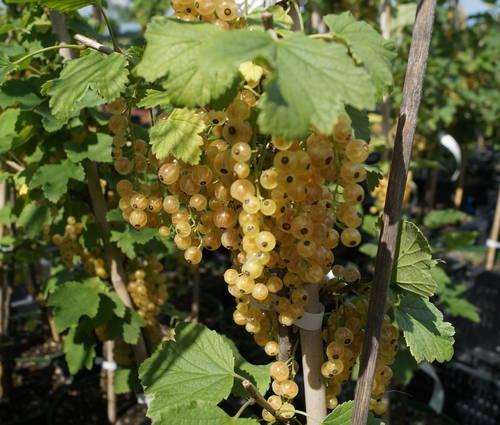 Produktbild Ribes sativa 'Weiße Langtraubige'