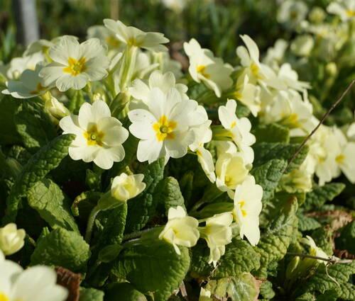 Produktbild Primula vulgaris
