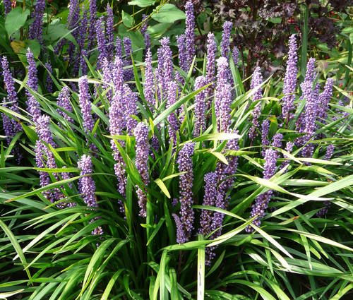 Produktbild Liriope muscari 'Royal Purple'