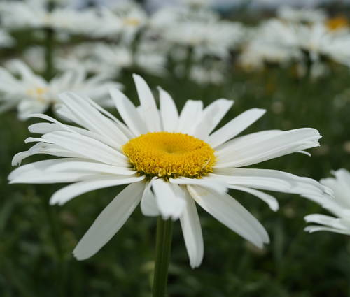Produktbild Leucanthemum Maximum-Hybride 'Beethoven'