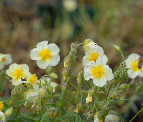 Produktbild Helianthemum Hybride 'Cornish Cream'