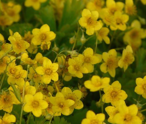 Produktbild Waldsteinia ternata