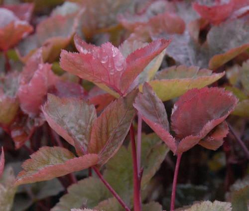 Produktbild Cryptotaenia japonica 'Purpurascens'
