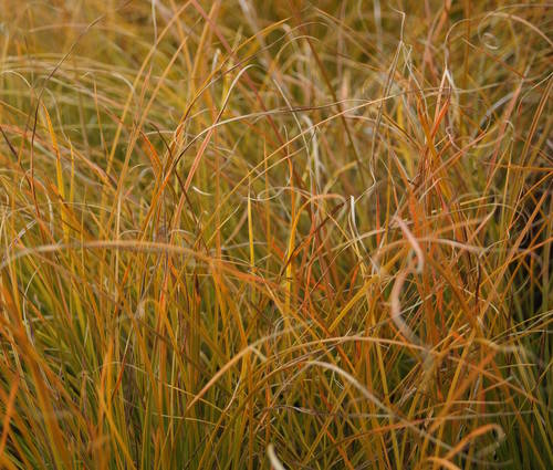 Produktbild Carex testacea