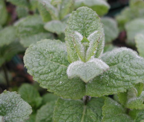 Produktbild Mentha species 'Hollandia'