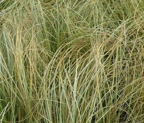 Produktbild Carex comans 'Frosted Curls'