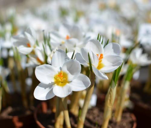 Produktbild Crocus chrysanthus 'Ard Schenk'