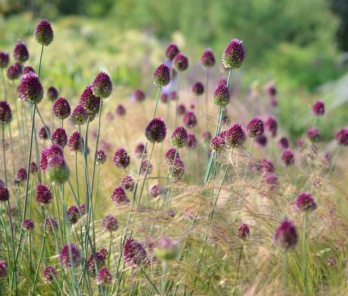 Produktbild Allium sphaerocephalon