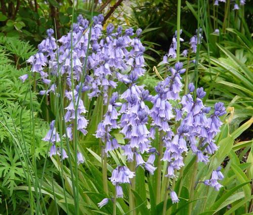 Produktbild Hyacinthoides hispanica 'Excelsior'