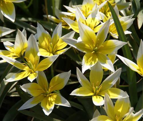 Produktbild Tulipa tarda