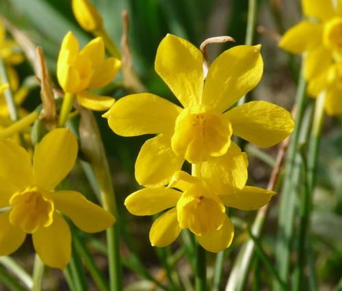 Produktbild Narcissus jonquilla var. henriquesii