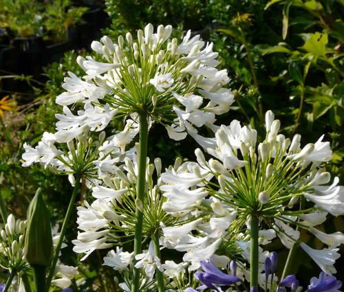 Produktbild Agapanthus Hybrid-Cultivar 'Albus'