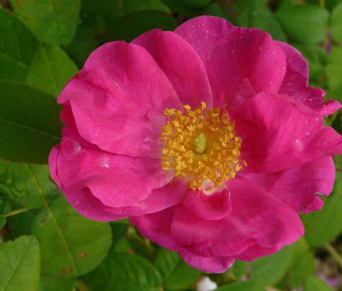 Produktbild Rosa gallica 'Officinalis'