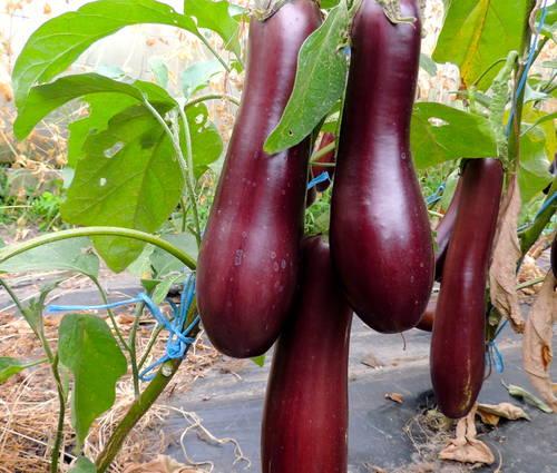 Produktbild Saatgut: Aubergine 'Violetta lunga 3'