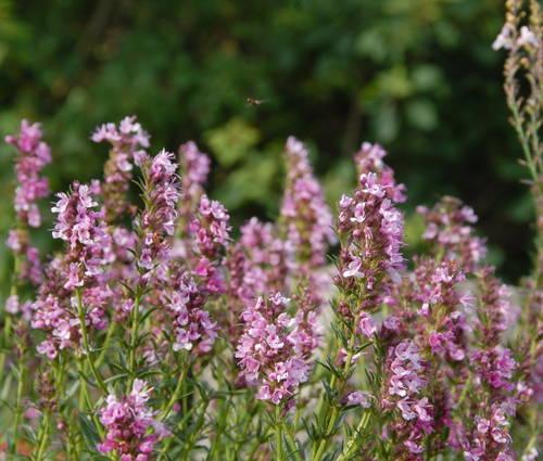 Produktbild Hyssopus officinalis 'Roseus'