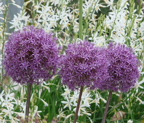 Produktbild Allium Hybride 'Globemaster'