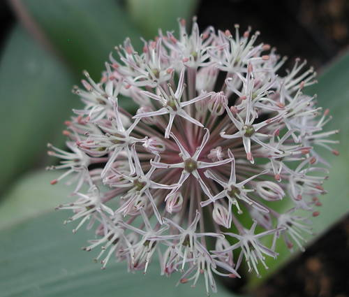 Produktbild Allium karataviense