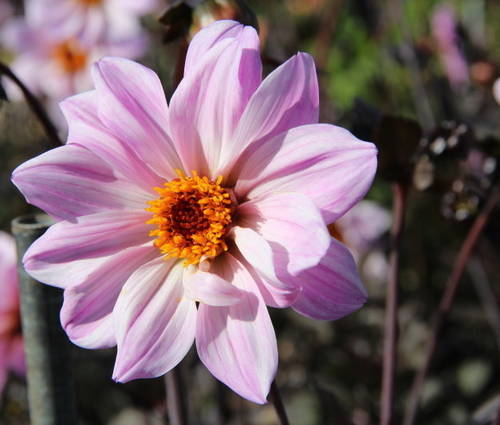 Produktbild Dahlia 'Bishop of Leicaster' ®