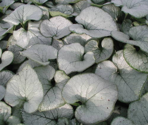 Produktbild Brunnera macrophylla 'Looking Glass' ®