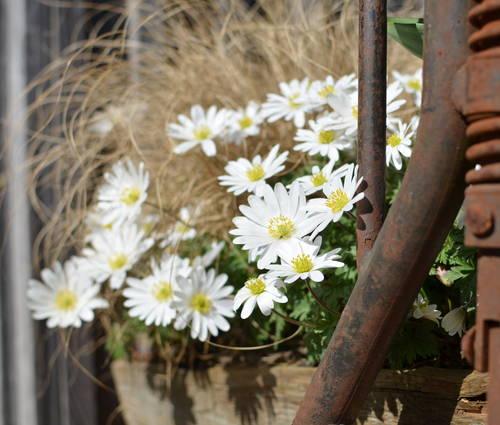 Produktbild Anemone blanda 'White Splendour'
