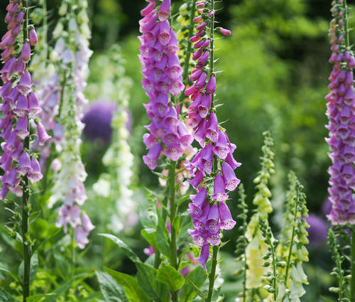 Produktbild Digitalis purpurea (Wildform)