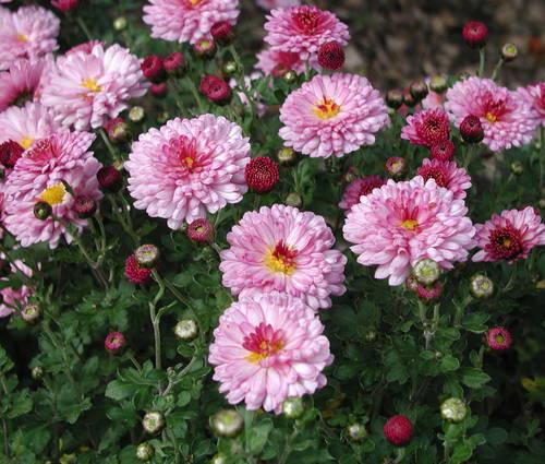Produktbild Chrysanthemum Indicum-Hybride 'Anastasia'