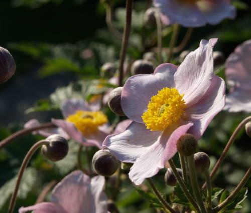 Produktbild Anemone tomentosa 'Robustissima'