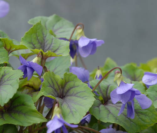 Produktbild Viola spec. 'Smoky Mountains'