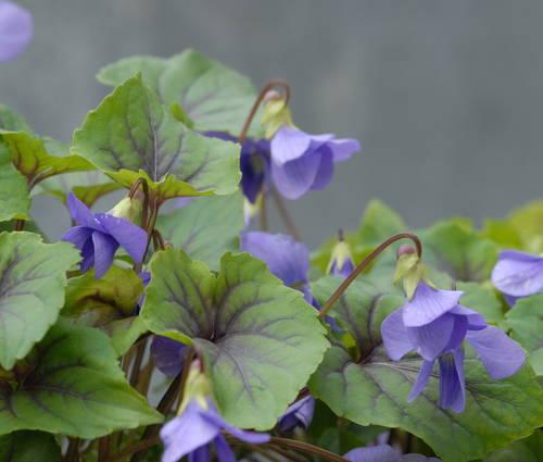 Produktbild Viola spec. 'Smoky Mountains'