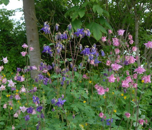 Produktbild Aquilegia vulgaris 'Grandmothers Garden'