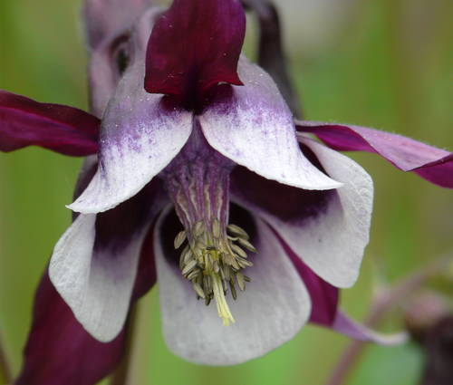 Produktbild Aquilegia vulgaris 'William Guiness'