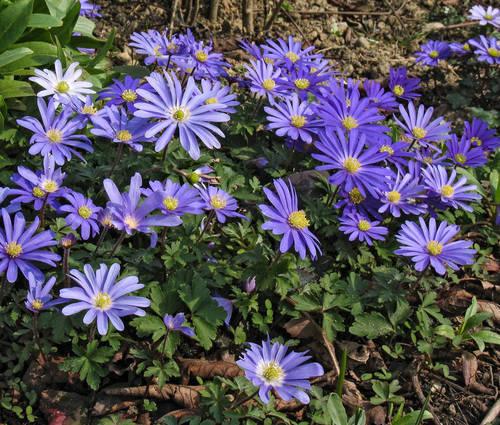 Produktbild Anemone blanda 'Blue Shades'